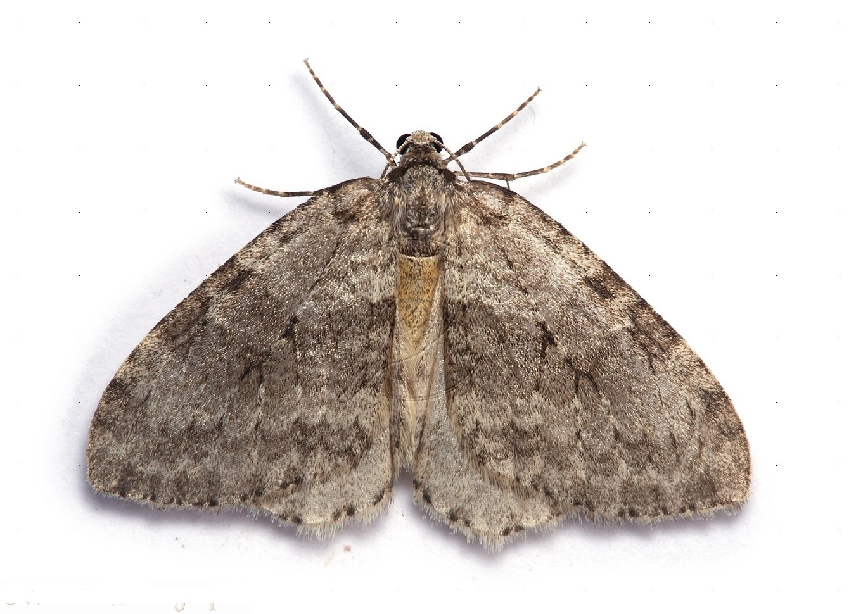 November Moth (Epirrita dilutata)